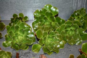 Aeonium rosettes have somewhat rounded leaves. Leaves can be solid colors or variegated in white, yellow, red and green.