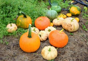 This year, many of our seeds came from Johnny's Selected Seeds. Whenever I can, I also use seeds I've saved from interesting or tasty pumpkins I've enjoyed in past years. https://www.johnnyseeds.com