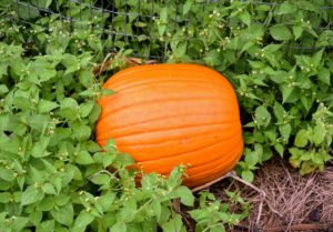 Here is a traditional orange pumpkin - great for Halloween carving.