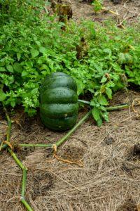This pumpkin is smooth with flat round ridges, dark green skin and bright orange flesh.