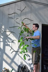 Ryan carefully hangs the vines on the tree. The stems of the vanilla orchid are long. Along the stem dark, thick, oblong leaves grow with aerial roots from each node so that the plant can adhere to its growing support.