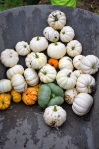 In this batch are many small to medium white pumpkins including 'Casperita', a mini, one-pound white pumpkin with a strong green handle.