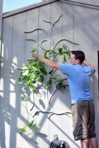 And then gently hangs the vines on the metal tree branches, using the rings as additional supports. Jade vine plants are well suited for growing in greenhouses. With the right care, these tropical plants are rambunctious climbers. They need plenty of direct sunlight and temperatures above 60-degrees Fahrenheit.
