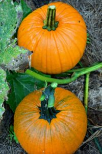 Pumpkins are a good source of nutrition. They are low in calories, fat and sodium and high in fiber. Plus, they are loaded with vitamins A and B and potassium.