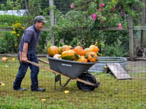 Here's Phurba down in the other patch adjacent to the chicken yard and near the vegetable garden. This is just one of several more large wheelbarrows full of pumpkins.