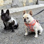 Although my Frenchies were not with me on this trip to QVC, here they are at the farm with their pretty harnesses - Bete Noire in tan and Creme Brulee in the coral.
