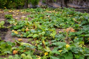 This year, we planted a patch just for winter squash in the back of one of my vegetable gardens. It is a spacious area that receives lots of full sun. The large leaves cover most of the cucurbits as they form, so it is hard to see the beauties underneath.