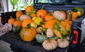 Once in the carport, each pumpkin and gourd is wiped with a damp cloth to remove any of the dirt and debris left from the garden.