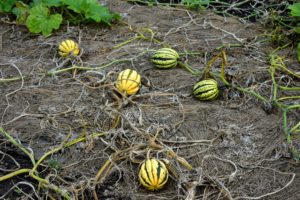 Winter squash is ready to harvest when the foliage on the vines begins to wither and turn brown. This happens by late September to early October here in the Northeast.