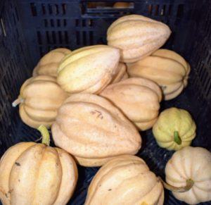 These are 'Thelma Sanders Sweet Potato Squash' - so tender, sweet and delicious. The fruits are light beige, deeply ridged acorn squash measuring about eight-inches with thick, orange-gold flesh. An heirloom originating from Missouri, this truly exceptional squash also stores very well.
