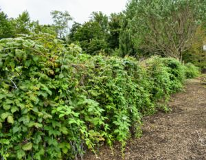 After the season, when the weather turns cold, all the berry bushes will be pruned. Pruning produces larger berries in greater volumes - it also helps to control diseases that might otherwise spread through the berry patches.