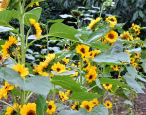 This year, we selected a collection of beautiful big sunflowers to plant next to our growing crop of winter squash behind my main greenhouse. Sunflowers commonly bloom during summer and a portion of fall. These opened over the last week.