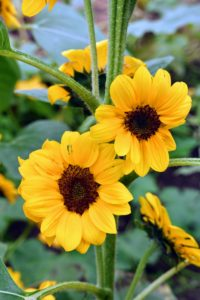 Native to North America, sunflowers are heat-tolerant, resistant to pests, and easy to grow.