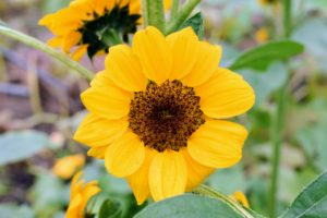 'Vincent®s Choice' sunflowers have round, overlapping petals that form sturdy flower heads.