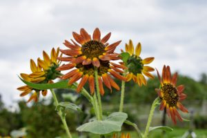 Sunflowers are also heavy feeders so the soil needs to be nutrient-rich with organic matter or composted manure.