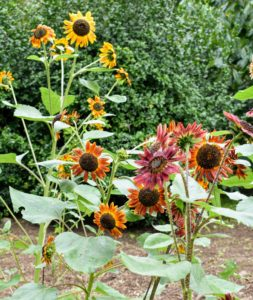We planted more classic yellow sunflowers as well as the more unusual bronze to red colored sunflowers. All of them look so pretty in the garden.