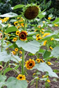 Young sunflowers turn to face the sun as it moves across the sky. They face east at dawn and then slowly turn west as the sun moves. During the night, they slowly turn back east to begin the cycle again. This is known as heliotropism and is due to the presence of auxin, a growth hormone in the stem. This process continues until the sunflower is mature.