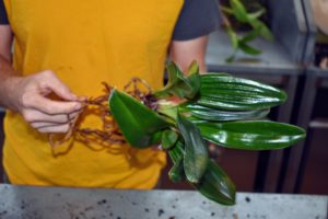 Ryan assesses each plant's roots before repotting. He trims away any roots and leaves that look shriveled. This may seem rather extreme, but orchids do best with a good pruning and cleanup.