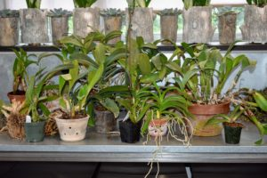 Here are some of my many orchids that need repotting. The ideal time to repot an orchid is after it finishes flowering, when it begins to produce new growth.