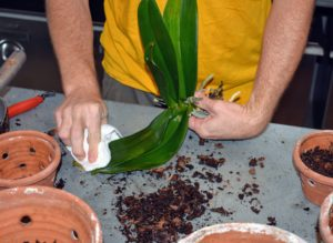 Once applied, the plants need a few minutes to dry, and then Ryan gently wipes away any excess.