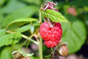 Ripe raspberries are rich in color, whether they are red, golden or black. The entire berry should be consistently colored also, and full in shape before picking.