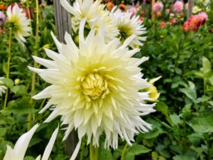 Dahlias thrive in rich, well-drained soil. The pH level of should be 6.5 to 7.0 and slightly acidic.