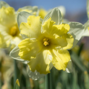 Here is a Cassata daffodil in bloom. Daffodils are among the most popular spring blooming flowers because of their resistance to deer and rodents - they just don't care for them. The flower's split cup opens in bright yellow and buttery ivory. (Photo courtesy of Colorblends)