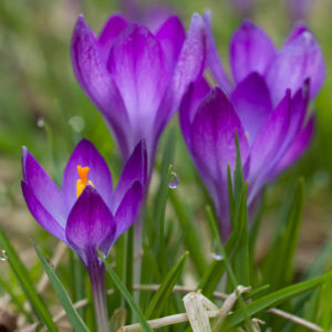 Tommies are a delightful early crocus and one of the easiest to grow. (Photo courtesy of Colorblends)