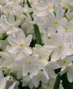 This longtime favorite yields large trusses of fragrant, snow-white flowers with up to three stems per bulb when grown indoors. I can't wait to see all the beautiful flowers come spring. Enjoy planting your bulbs this weekend! (Photo courtesy of Van Engelen, Inc.)