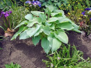 We also have Hosta 'Blue Angel'. This is one of the larger varieties. It has huge, heart-shaped, blue-green leaves and matures to three-feet tall and four-feet wide. It is also quite popular because it is slug resistant. (Photo courtesy of Pioneer Gardens)