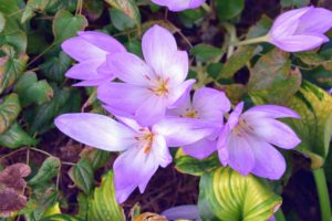 Colchicum is a member of the botanical family Colchicaceae, and is native to West Asia, Europe, parts of the Mediterranean coast, down the East African coast to South Africa and the Western Cape.