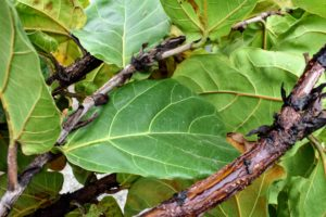 The leaves sprout only from the branches and can get quite large. They are also rigid with a leathery feel. As they grow, the leaves are covered by a protective papery bract that shrivels and dries once the leaf fully emerges.