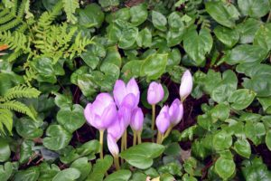 Colchicum typically blooms from September to November. Here are some just beginning to open.