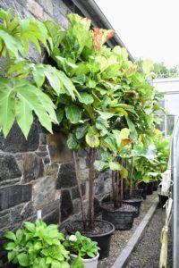Fiddle leaf figs can benefit from regular doses of a good fertilizer during the growing season.