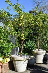 I have many different lemon trees. I haven't bought a lemon in years. These are so much more flavorful than store-bought. I love to use them for baking and cooking.