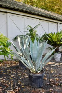 These agaves will be very happy in the hoop house for the winter where they will get plenty of light. Potted agave plants will need to be repotted every other year or so to replenish the soil and root prune the plant. What succulents are you repotting this season?
