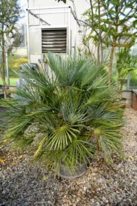 This is a fan palm – any of several different kinds of palms with leaves that are palmately lobed, and resembling a fan. Fan leaves are typically circular or paddle shaped, or shaped like a portion of a circle.