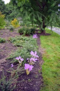 We also planted Colchicum in the Stewartia garden behind my Tenant House, across from my clematis pergola. These came from one of my favorite bulb sources, Brent and Becky's. https://www.brentandbeckysbulbs.com