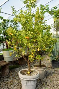 Here is another citrus tree - Calamondin, Citrus mitis, an acid citrus fruit originating in China.