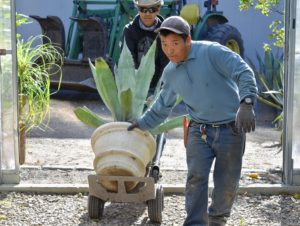 Dawa and Phurba move in another blue agave.