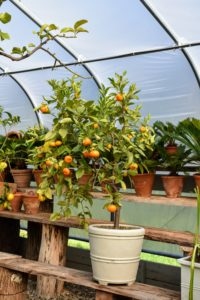 I am so fortunate to be able to grow citrus here in the Northeast. My potted citrus plants thrive in this temperature controlled hoop house during winter, and provide such delicious fruits.