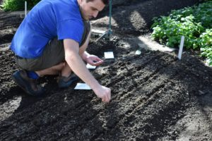 Once all the beds are marked, Ryan sprinkles the seeds in the furrows.