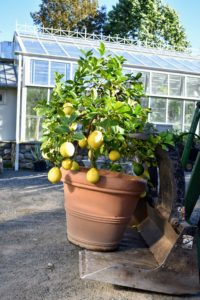 This 'Ponderosa' citrus tree is always the last pot to be stored in this hoop house. I always keep it in the front just behind the doors. This plant produces huge lemons, often up to five-pounds each!