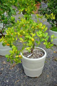 Calamondin, Citrus mitis, is an acid citrus fruit originating in China. Calamondin is called by many names, including calamondin orange, calamansi, calamandarin, golden lime, and musk orange.