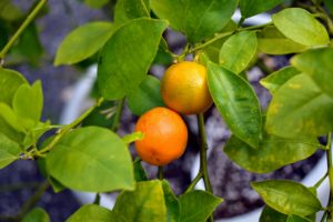 The fruits of the calamondin are small and thin skinned. Its juice can be used like lemon or lime to make refreshing beverages, or to flavor fish and various soups.