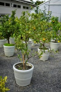 This striped citrus limon tree produce fruits with pink flesh, and little to no seeds.