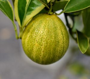 The fruit grows year-round, and is heaviest in late winter through early summer. It produces very acidic juice.