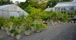 I am so pleased with how well my citrus trees do here at the farm. Most of my collection is from Logee's Tropical Plants, in Danielson, Connecticut. It is so satisfying to grow and pick your very own lemons and oranges. What are your favorite citrus fruits? Share your comments below.
