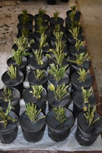 All the potted hostas are then grouped together, so they can be moved to a designated location by variety where they will be maintained until they're transplanted into the garden beds.