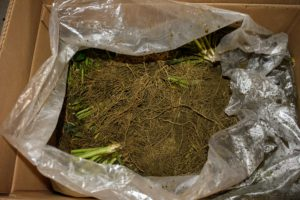 Each box includes 100 bare root plants. Healthy bare root plants get off to a more vigorous start because their abundant, fibrous roots have already had a chance to develop unrestricted.